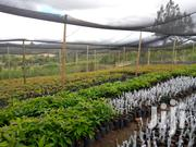 Hass Avocado Seedlings | Feeds, Supplements & Seeds for sale in Laikipia, Nanyuki