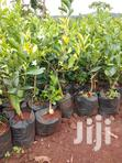 Good Pixies And Tangerines | Feeds, Supplements & Seeds for sale in Township G, Murang'a, Kenya