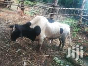 Bull For Breeding Or Slaughtering   Other Animals for sale in Makueni, Ukia