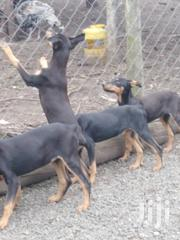 Young Female Purebred Doberman Pinscher | Dogs & Puppies for sale in Nakuru, Nakuru East