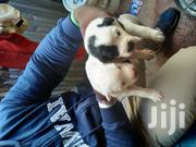 Young Male Purebred Chihuahua | Dogs & Puppies for sale in Nairobi, Embakasi