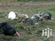Turkeys For Sale | Birds for sale in Laikipia, Nanyuki