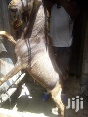 High Breed Goat   Livestock & Poultry for sale in Kajiado, Ongata Rongai