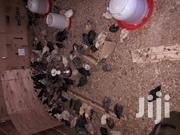 Kuroiler 3 Weeks Chicks | Livestock & Poultry for sale in Nandi, Ndalat