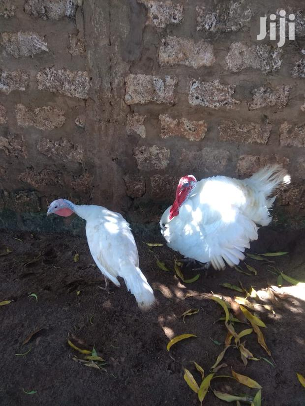 Archive: White Turkey