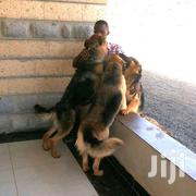 Adult Male Purebred German Shepherd Dog | Dogs & Puppies for sale in Nairobi, Karura