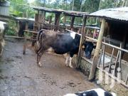 Incalf Heifers | Livestock & Poultry for sale in Kiambu, Githiga (Githunguri)