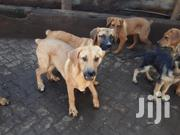 Senior Male Purebred Boerboel | Dogs & Puppies for sale in Kiambu, Ruiru