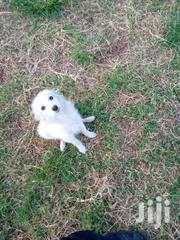 Young Male Mixed Breed Japanese Spitz | Dogs & Puppies for sale in Kiambu, Ndenderu