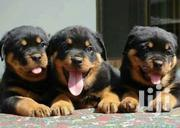 Young Male Purebred Rottweiler | Dogs & Puppies for sale in Nairobi, Zimmerman