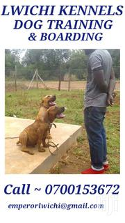 Young Female Mixed Breed Cane Corso | Dogs & Puppies for sale in Nairobi, Karura