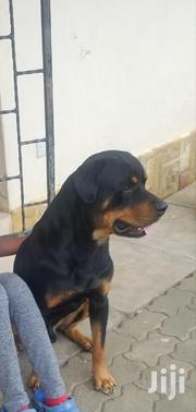 Stud Rottweiler | Dogs & Puppies for sale in Mombasa, Bamburi
