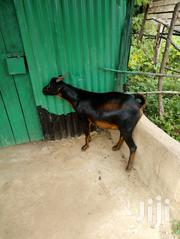 Delivered Goats For Sale Weighing 20kg And Above   Livestock & Poultry for sale in West Pokot, Lomut