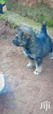 Baby Female Mixed Breed German Shepherd Dog | Dogs & Puppies for sale in Trans-Nzoia, Kitale