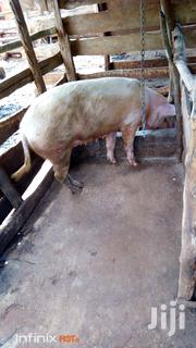 Mature Female Pig   Livestock & Poultry for sale in Murang'a, Gatanga