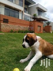 Baby Male Purebred Saint Bernard | Dogs & Puppies for sale in Nairobi, Nairobi West