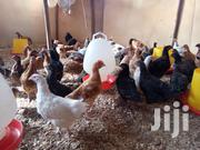 Rainbow Rooster, Kuroiler & Sasso Chicks | Livestock & Poultry for sale in Kajiado, Ngong