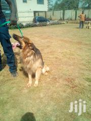 Adult Male Purebred German Shepherd Dog | Dogs & Puppies for sale in Nairobi, Parklands/Highridge