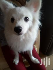 Young Female Mixed Breed Japanese Spitz | Dogs & Puppies for sale in Mombasa, Tudor