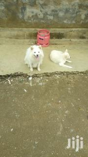 Adult Female Purebred Japanese Spitz | Dogs & Puppies for sale in Kisumu, Migosi