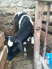 9 Months Bull Calf | Other Animals for sale in Kiambu, Limuru East