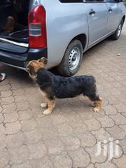 Baby Female Purebred German Shepherd Dog | Dogs & Puppies for sale in Nairobi, Westlands
