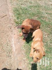 Young Male Mixed Breed Boerboel | Dogs & Puppies for sale in Kiambu, Ndenderu