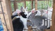 Rabbits For Pets   Other Animals for sale in Machakos, Syokimau/Mulolongo