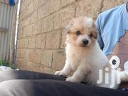 Baby Female Mixed Breed Maltese | Dogs & Puppies for sale in Nairobi, Embakasi