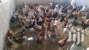4months Kuroiler Bird | Livestock & Poultry for sale in Mombasa, Changamwe