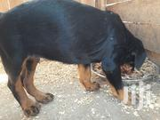 Young Male Purebred Rottweiler | Dogs & Puppies for sale in Kiambu, Juja