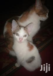 Baby Female Mixed Breed | Cats & Kittens for sale in Nairobi, Kasarani