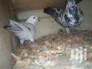 Paired Pigeon | Birds for sale in Nairobi, Umoja II