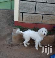 Young Male Mixed Breed Maltese | Dogs & Puppies for sale in Kiambu, Hospital (Thika)
