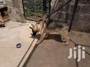 Adult Male Purebred German Shepherd Dog | Dogs & Puppies for sale in Kiambu, Hospital (Thika)