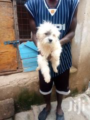 Young Female Purebred Maltese | Dogs & Puppies for sale in Nairobi, Embakasi