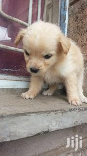 Baby Female Purebred Japanese Spitz | Dogs & Puppies for sale in Nairobi, Komarock
