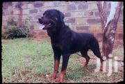 Young Male Purebred Rottweiler | Dogs & Puppies for sale in Uasin Gishu, Simat/Kapseret