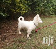 Young Male Purebred Japanese Spitz | Dogs & Puppies for sale in Nairobi, Karura