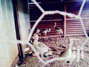 Crested Cranes Chicks For Sale | Livestock & Poultry for sale in Nairobi, Kahawa West