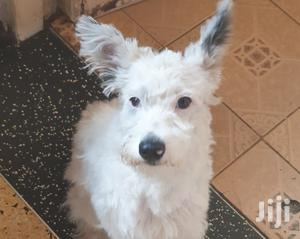 Young Female Mixed Breed Jack Russell Terrier