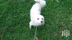 Young Male Mixed Breed Japanese Spitz