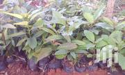 Hass Grafted Seedlings   Feeds, Supplements & Seeds for sale in Trans-Nzoia, Hospital (Kiminini)