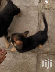Baby Female Purebred German Shepherd Dog | Dogs & Puppies for sale in Kisumu, Central Kisumu