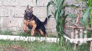 Young Female Purebred German Shepherd Dog | Dogs & Puppies for sale in Nairobi, Ruai
