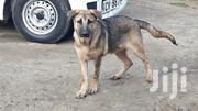 Young Male Purebred German Shepherd Dog   Dogs & Puppies for sale in Nairobi, Ruai