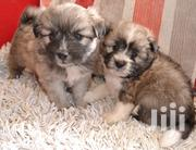 Baby Male Mixed Breed Havanese   Dogs & Puppies for sale in Nairobi, Karen