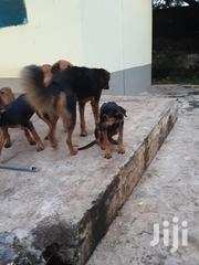 Young Male Mixed Breed Rottweiler | Dogs & Puppies for sale in Mombasa, Mkomani
