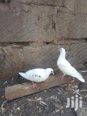 Pure White Paired Pigeon | Birds for sale in Nairobi, Umoja II