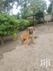 Young Female Purebred Boerboel   Dogs & Puppies for sale in Kajiado, Ongata Rongai
